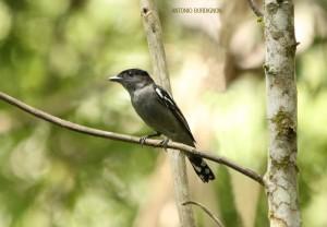 Caneleiro preto (Pachyramphus polychopterus) no sítio cachoeira da serra em Taiaçupeba, Mogi das Cruzes-SP
