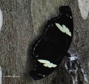 Catonephele numilia penthia-f-IButantanSP-BR-20-4-15-ASilveira