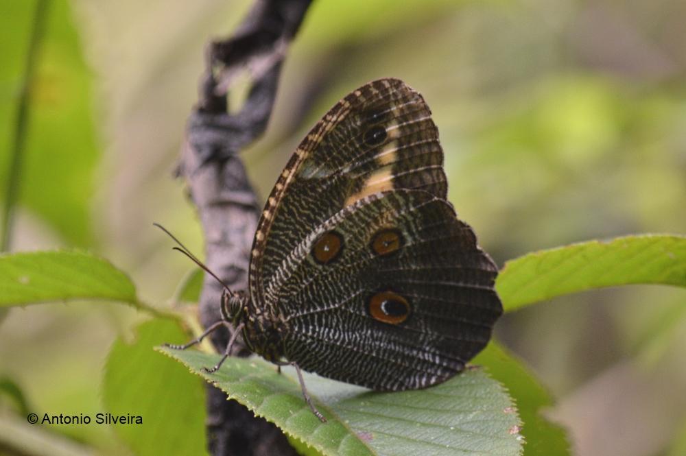 Dasyophthalma creusa-MogidasCruzesSP-BR-7-2-15-ASilveira