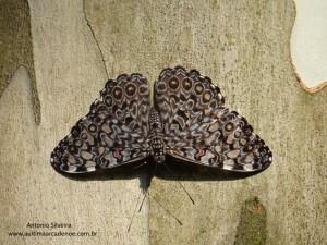 Hamadryas feronia3-IButantanSP-BR-19-4-15-ASilveira
