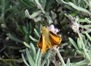 Hylephila phyleus phyleus 2-JDBotanicoSP-10-2-15-ASilveira