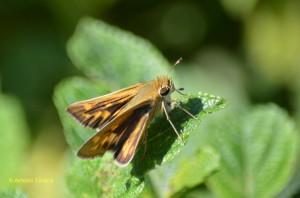 Hylephila phyleus phyleus -PIbirapueraSP-BR-16-1-15-ASilveira