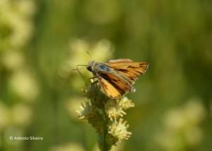 Hylephila phyleus2-LagDiarioUY-22-2-15-ASilveira