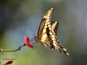 Papilio cresphontes1-GreynoldsPark-MIami-12-3-15-ASilveira