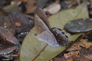 Pierella lamia chalybaea-FazCountry-CanavieirasBA-11-10-13-ASilveira