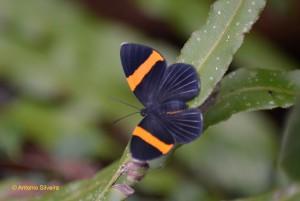 Stichelia bocchoris1-Atibaia-SP-BR-8-11-14-ASilveira