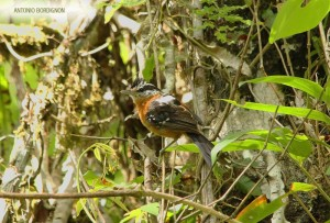 Trovoada  (Drymophila ferruginea) Fazenda Rio Grande, Distrito de Taiaçupeba, Mogi das Cruzes SP