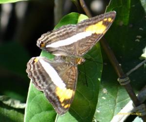 Adelpha malea goyama1-JdBotanicoSP-BR-2-8-15-ASilveira