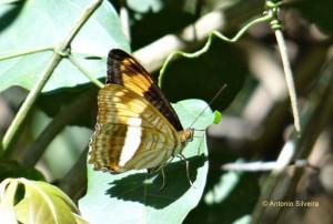Adelpha malea goyama3-JdBotanicoSP-BR-2-8-15-ASilveira