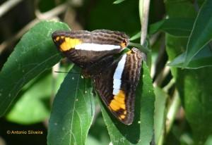 Adelpha malea goyama4-JdBotanicoSP-BR-2-8-15-ASilveira