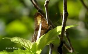 Adelpha mythra1v-JdBotanico-SP-5-1-16-ASilveira