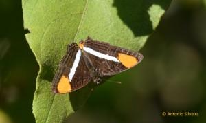 Adelpha syma1-JdBotanicoSPBR-1-9-15-ASilveira