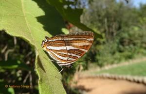 Adelpha syma1a-JdBotanicoSPBR-1-9-15-ASilveira