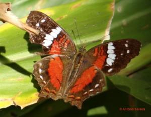 Anartia amathea roeselia-JdBotanicoSP-BR-2-8-15-ASilveira