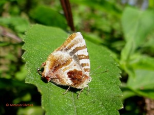 Arawacus dolylas1-JdBotanicoSP-BR-7-5-15-ASilveira