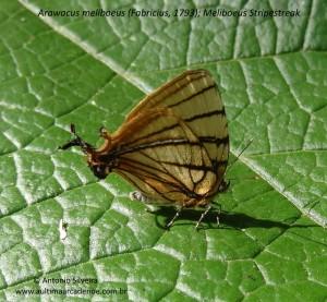 Arawacus meliboeus4-JdBotanicoSPBR-1-9-15-ASilveira-nome