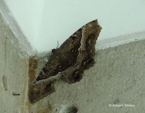 Ascalapha odorata-JdBotanicoSP-15-10-15-ASilveira
