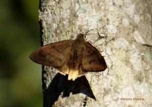 Astraptes anaphus JdBotanicoSP-BR-9-6-15-ASilveira