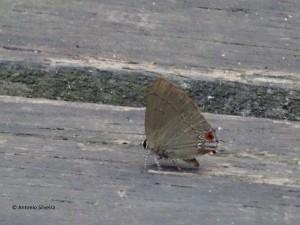 calycopis-caulonia-jdbotanicosp-br-23-9-16-asilveira