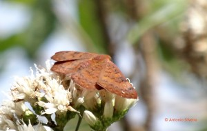 Emesis mandana mandana-PqIbirapueraSP-BR-9-7-15-ASilveira