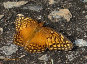 Euptoieta hegesia4-PqIbirapueraSP-BR-1-1-16-ASilveira-nome