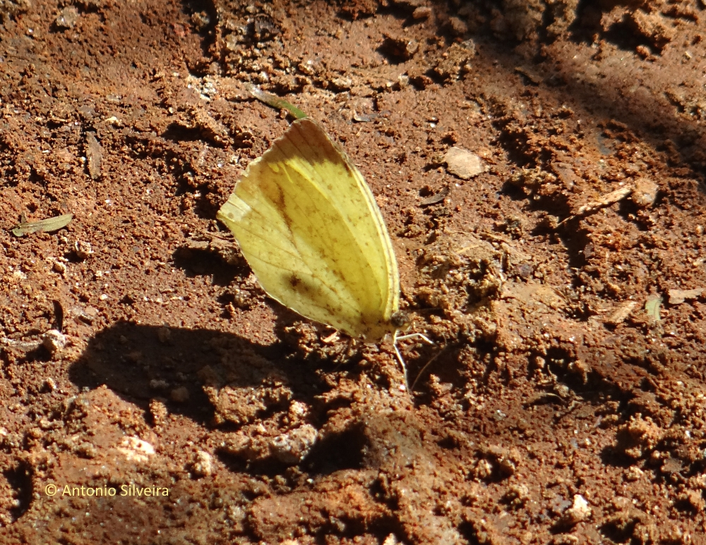 Eurema arbela gracilis2-JdBotanicoSP-BR-9-6-15-ASilveira