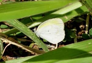 Eurema elathea2-PqIbirapueraSP-BR-25-3-16-ASilveira