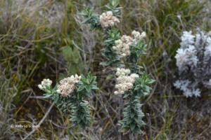 Flora4-PedradaMinaSP-BR-5-3-15-ASilveira