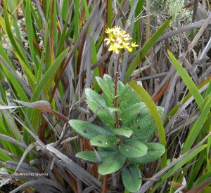Flora9-PedradaMinaSP-BR-5-3-15-ASilveira