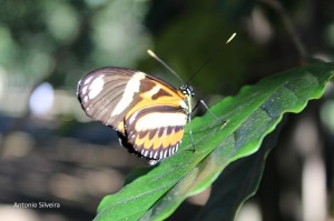 Heliconius ethilla-PqIbirapueraSP-5-4-16-ASilveira