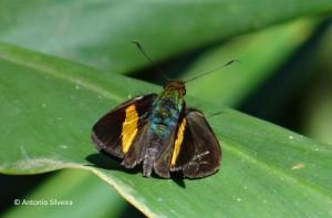 Hesperiidae-2-JdBotanicoSP-BR-9-6-15-ASilveira