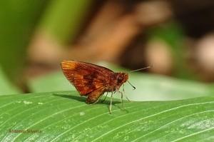 hesperiidae-jdbotanicosp-br-19-9-16-asilveira