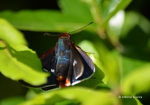 Hesperiidae1-JdBotanicoSP-BR-30-6-15-ASilveira