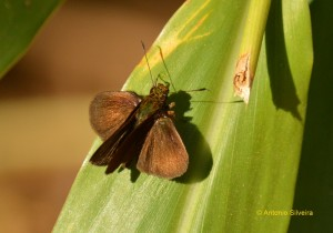 Hesperiidae1-JdBotanicoSP-BR-4-8-15-ASilveira