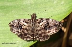 Hesperiidae1a-JdBotanicoSP-BR-4-8-15-ASilveira