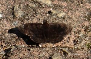 Hesperiidae2-escura-JdBotanicoSP-BR-9-6-15-ASilveira
