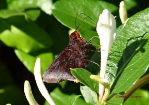 Hesperiidae7-JdBotanicoSP-BR-2-8-15-ASilveira