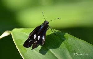 Hesperiidae7-JdBotanicoSP-BR-30-6-15-ASilveira