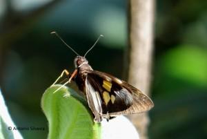 Hesperiidae9-JdBotanicoSP-BR-30-6-15-ASilveira