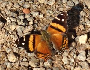 Hypanartia bella2-PqIbirapueraSP-BR-4-6-15-ASilveira