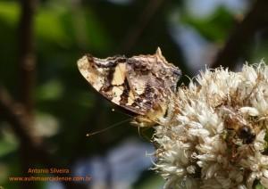 Hypanartia bella4-PqIbirapueraSP-BR-9-7-15-ASilveira