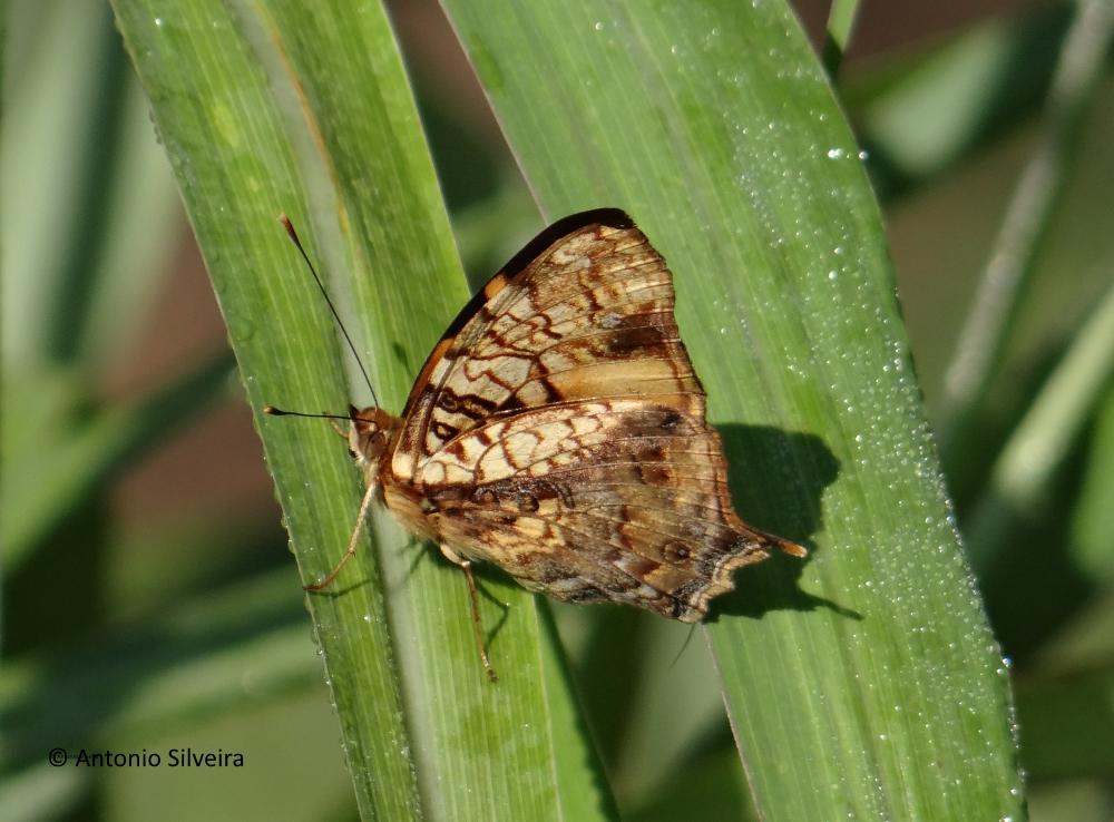 Hypanartia lethe-JdBotanicoSP-BR-9-6-15-ASilveira