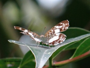 Lemonias zygia zygia3-JdBotanicoSP-BR-28-3-16-ASilveira
