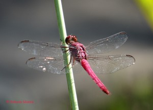 Libelula vermelha2-JdBotanicoSP-Br-4-4-15-ASilveira