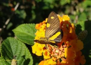 Mariposa amarela-PqIbirapueraSP-BR-22-4-16-ASilveira
