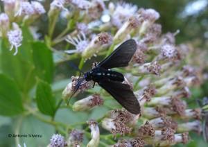 Mariposa negra-azul1-PqIbirapueraSP-BR-22-4-16-ASilveira