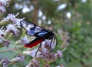 Mariposa negra-verm2-PqIbirapueraSP-BR-22-4-16-ASilveira