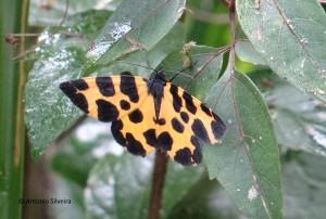 Pantherodes leonaria1-JdBotanicoSP-5-2-16-ASilveira