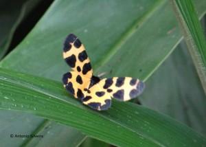 Pantherodes leonaria4-JdBotanicoSP-5-2-16-ASilveira