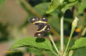 Parcella amarynthina-PqIbirapueraSP-30-4-16-ASilveira